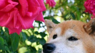 谷津バラ園は犬やペットも入園できる?