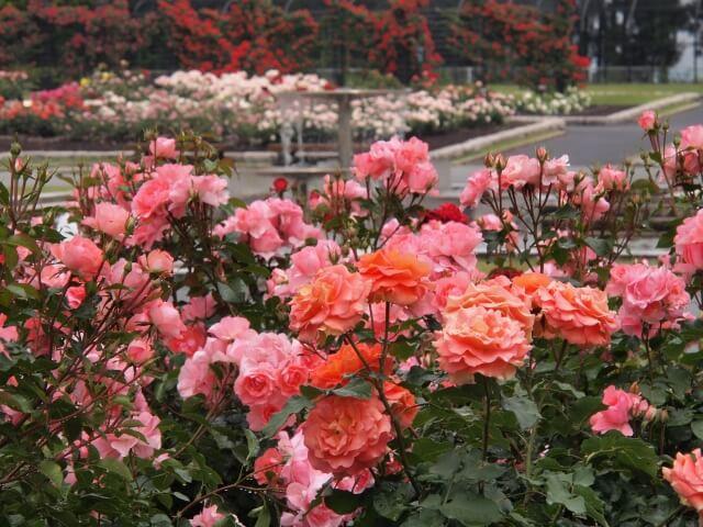 谷津バラ園の花の見頃はいつ?